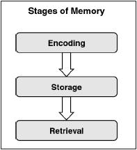 A chart showing the stages of memory, encoding, and storage. (STANDLEY PUBLICATIONS)
